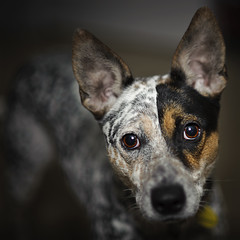 blue heeler guard dog