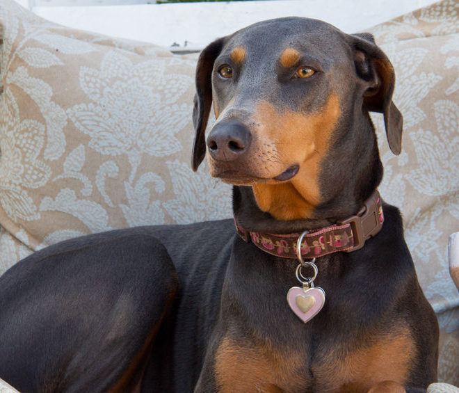 Can Dobermans be left alone