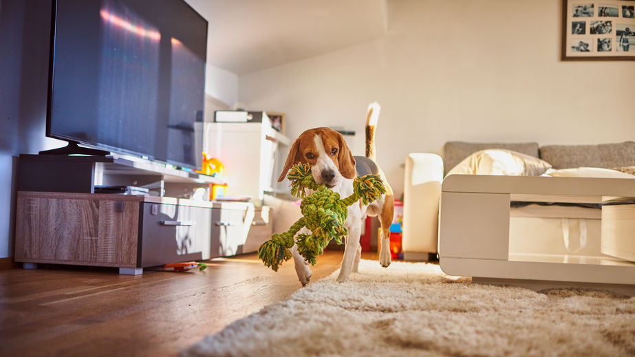 Can Beagles live in an apartment