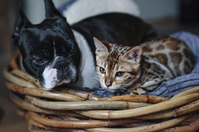 Are Boston Terrier good with cats