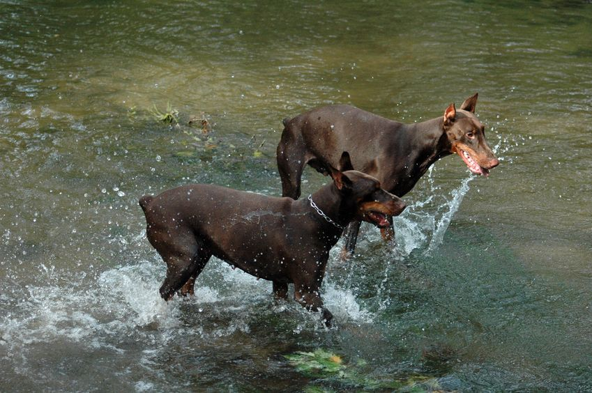 Can Dobermans swim