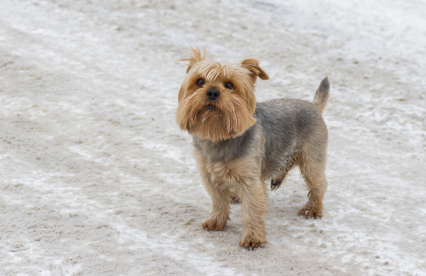 Yorkie too cold