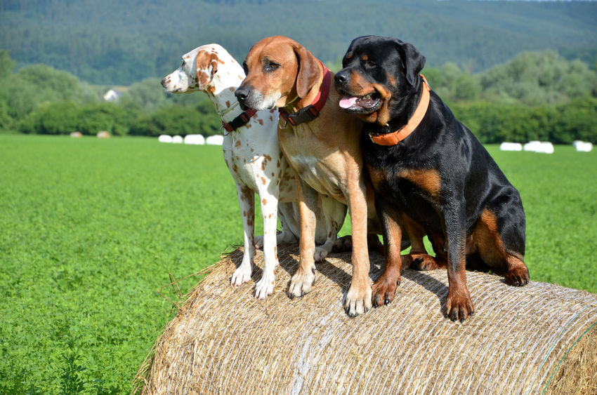 Rottweiler good with other dpgs