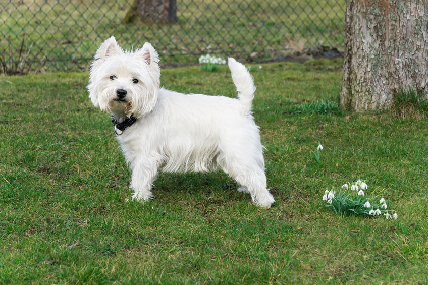 Can Westies live outside