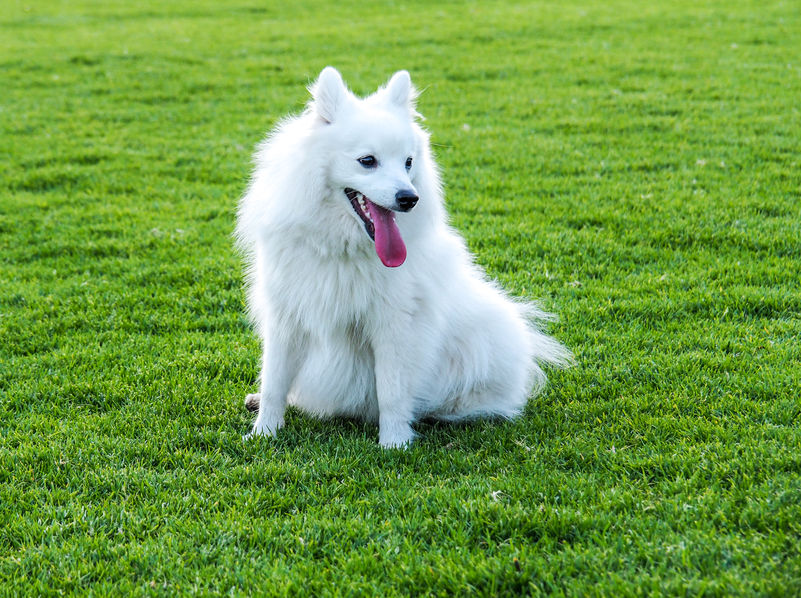 Japanese Spitz first time owners